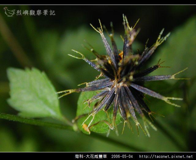 菊科-大花咸豐草_12.jpg