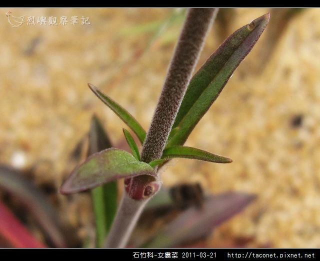 石竹科-女婁菜_21.jpg