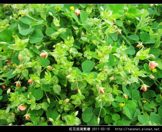 紅花琉璃繁縷-14.jpg
