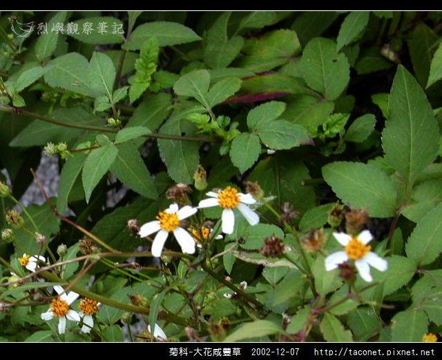 菊科-大花咸豐草_02.jpg