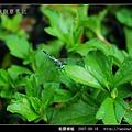 粗腰蜻蜓_02.jpg