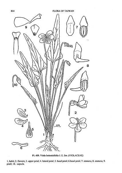 箭葉堇菜.jpg