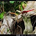 猩紅蜻蜓_08.jpg