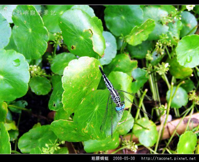 粗腰蜻蜓_04.jpg