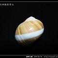 腰帶玉螺_4010.jpg
