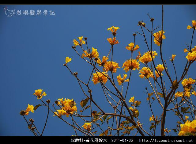 紫葳科-黃花風鈴木_04.jpg