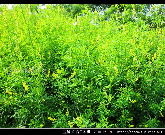 豆科-印度草木樨_02.jpg