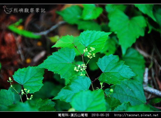 葡萄科-漢氏山葡萄_06.jpg