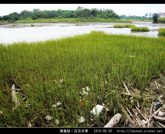 互花米草在清遠湖_13.jpg