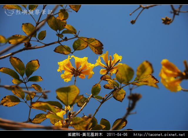 紫葳科-黃花風鈴木_01.jpg