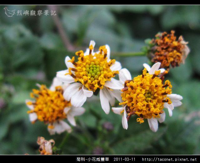 菊科-小花咸豐草_13.jpg