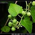 葡萄科-漢氏山葡萄_09.jpg