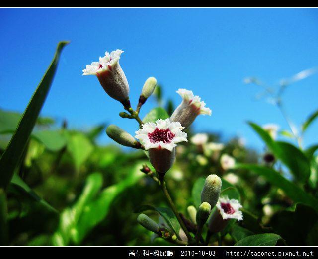 茜草科-雞屎藤_14.jpg