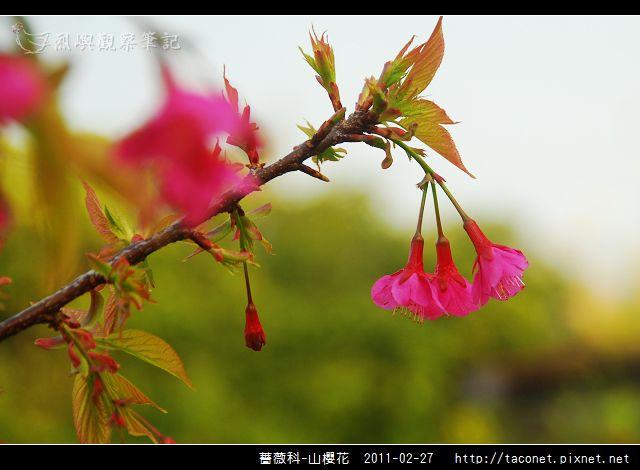 薔薇科-山櫻花_17.jpg