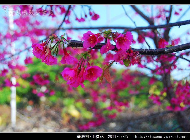 薔薇科-山櫻花_27.jpg