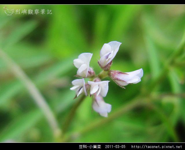 豆科-小巢菜_13.jpg