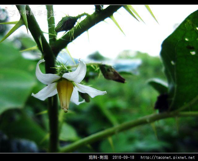 茄科-刺茄_06.jpg