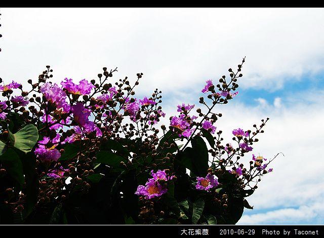 大花紫薇_13.jpg