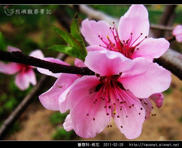 薔薇科-桃花_21.jpg
