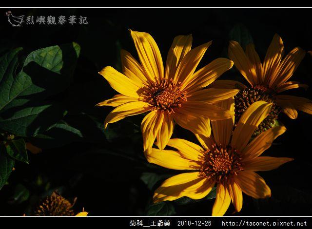 菊科-王爺葵_08.jpg