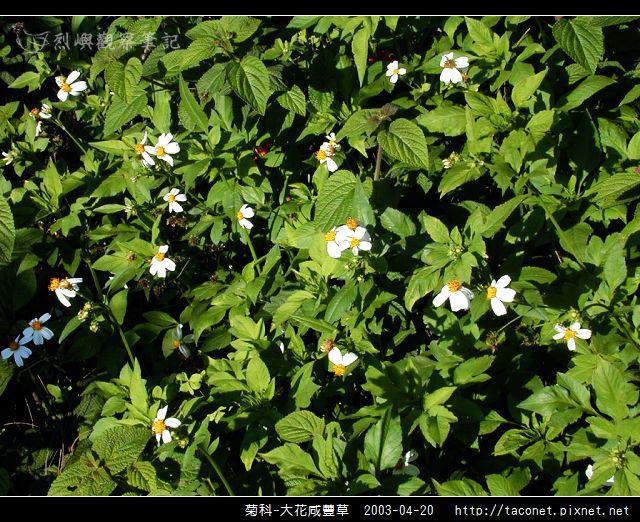 菊科-大花咸豐草_03.jpg