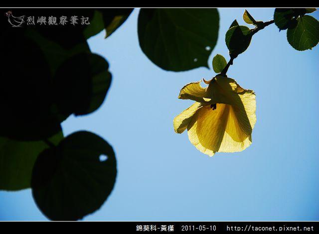 錦葵科-黃槿_06.jpg