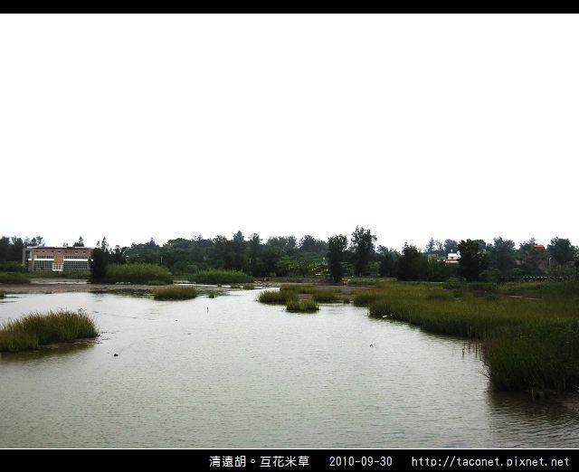 互花米草在清遠湖_14.jpg