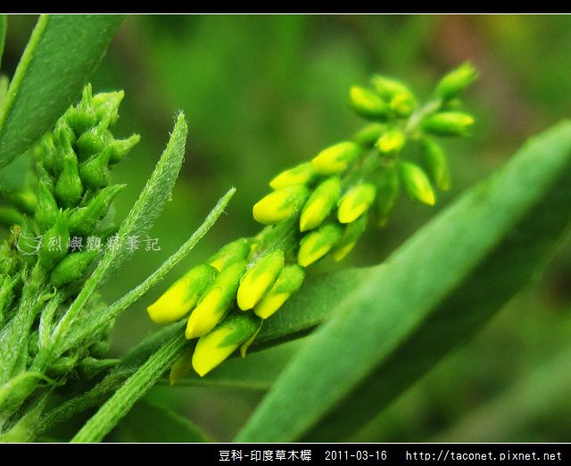 豆科-印度草木樨_10.jpg