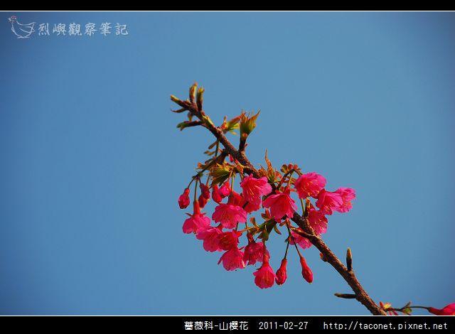 薔薇科-山櫻花_15.jpg