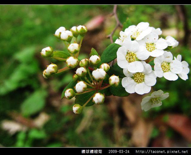 繡球繡線菊_07.jpg