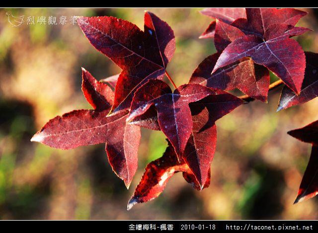 金縷梅科-楓香_24.jpg