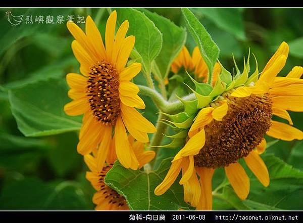 菊科-向日葵_14.jpg