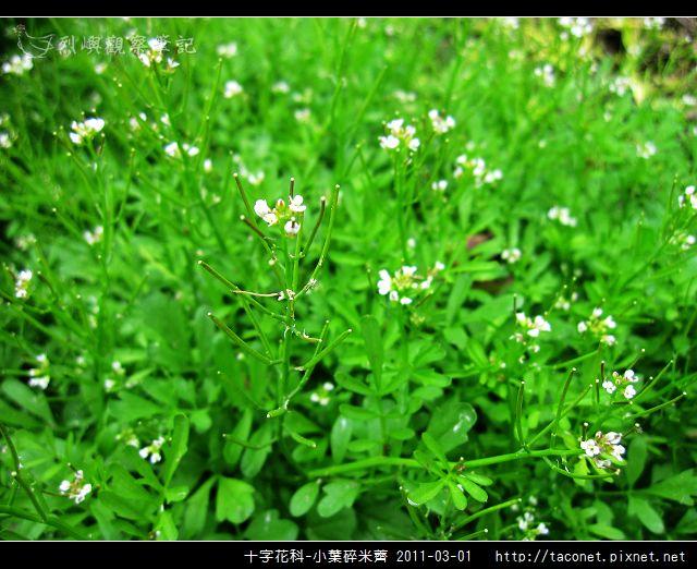 十字花科-小葉碎米薺_05.jpg