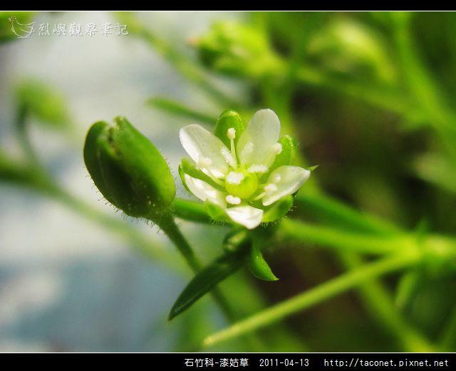 石竹科-漆姑草_07.jpg