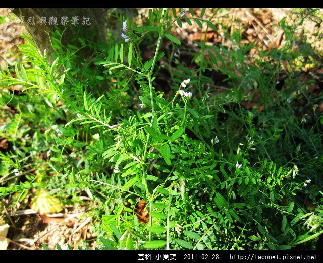 豆科-小巢菜_08.jpg