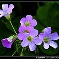 紫花酢漿草_02.jpg