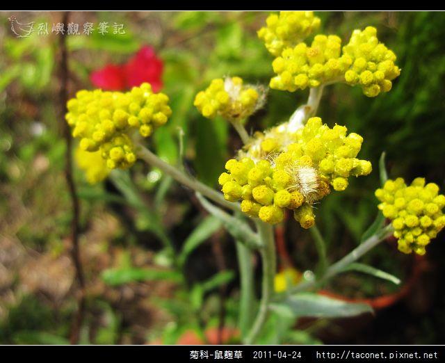 菊科-鼠麴草_10.jpg