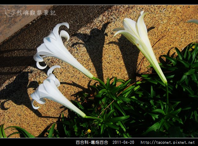百合科-鐵炮百合_01.jpg