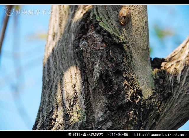 紫葳科-黃花風鈴木_07.jpg