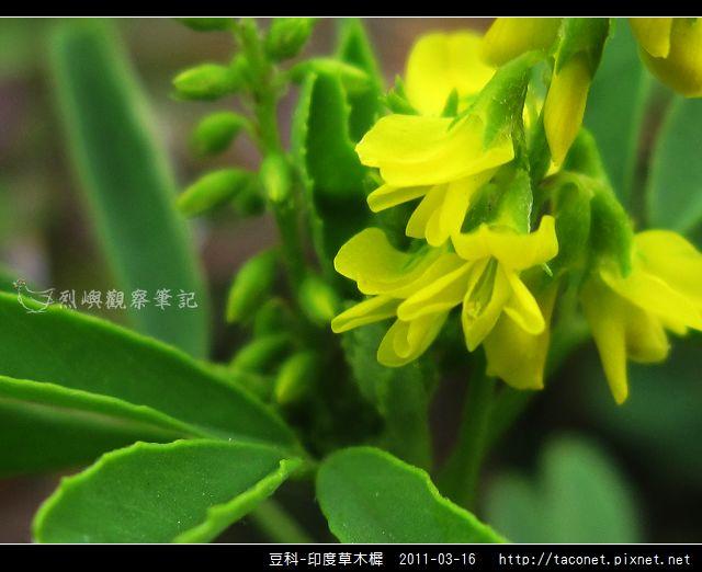 豆科-印度草木樨_07.jpg