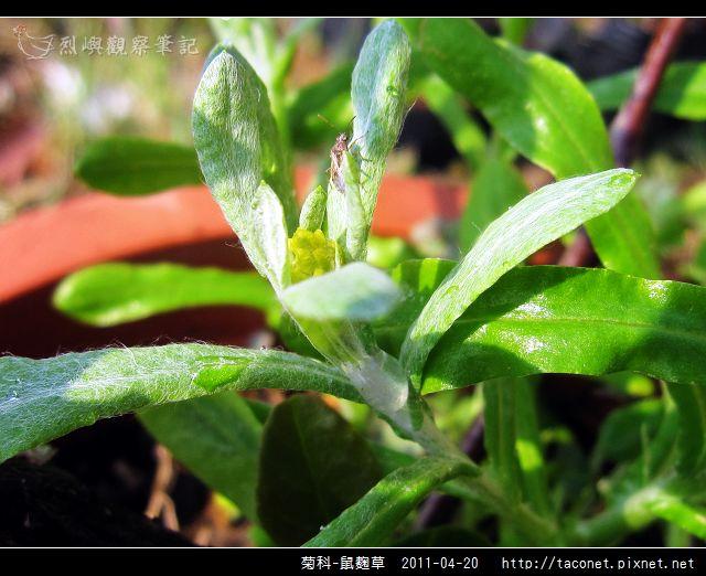 菊科-鼠麴草_07.jpg