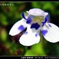 玄參科-棱萼母草_11.jpg