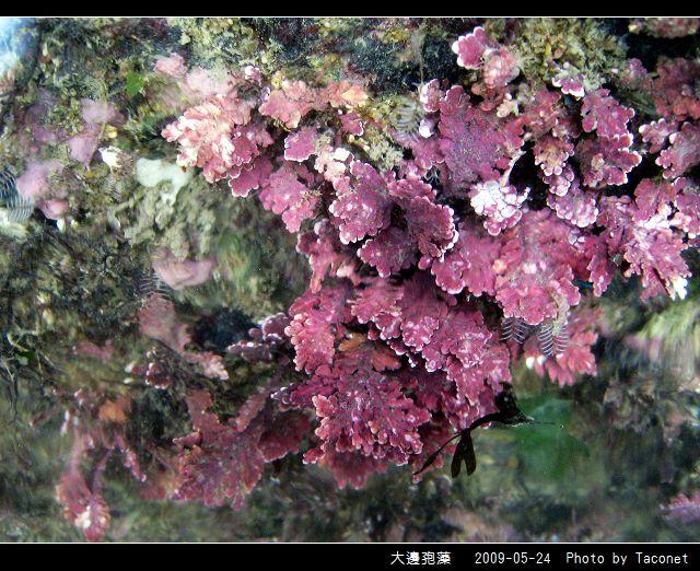 大邊孢藻_08.jpg