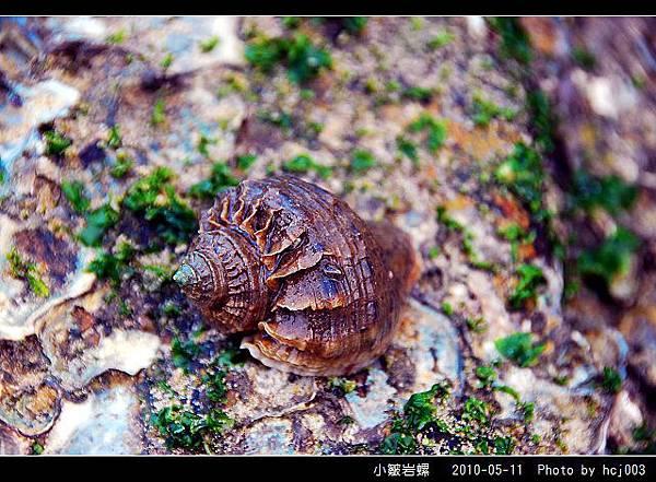 小皺岩螺_01.jpg