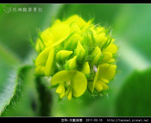 豆科-天藍苜蓿_15.jpg