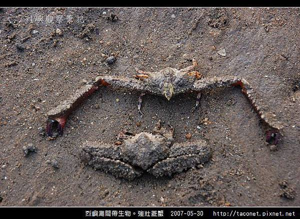 強壯菱蟹_06.jpg