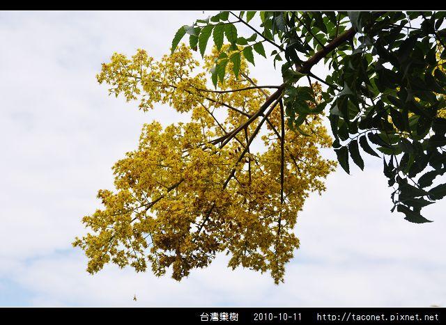 台灣欒樹_10.jpg