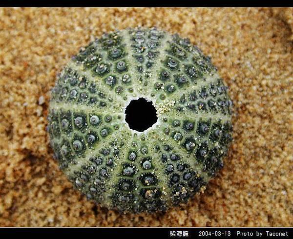 紫海膽_05.jpg