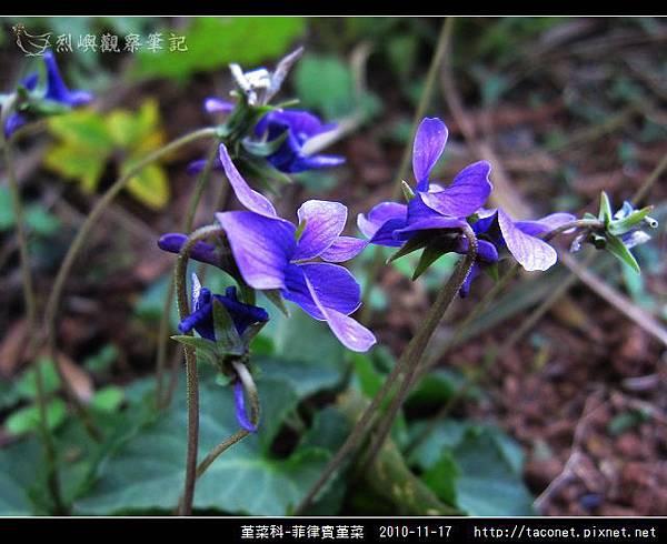 堇菜科-菲律賓堇菜_05.jpg
