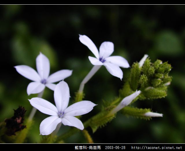 藍雪科-烏面馬_04.jpg